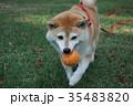 柴犬とボール遊び 35483820