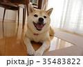 笑顔の柴犬 35483822