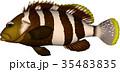 アオハタ 魚 ベクターのイラスト 35483835