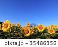 富士山 ひまわり 夏の写真 35486356