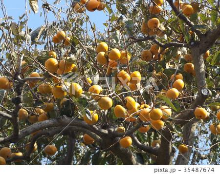 もう直ぐ熟す甘柿の実 35487674