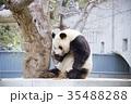 動物 神戸市立王子動物園 パンダの写真 35488288