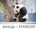 動物 神戸市立王子動物園 パンダの写真 35488289