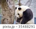 動物 神戸市立王子動物園 パンダの写真 35488291