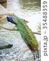 王子動物園 鳥 水辺の写真 35488359
