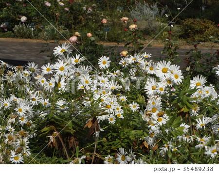 浜辺の白い花はハマギクの白い花 35489238