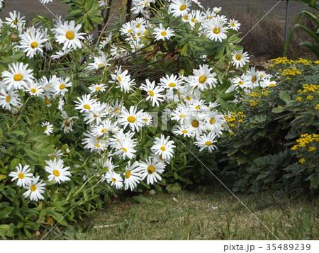 浜辺の白い花はハマギクの白い花 35489239