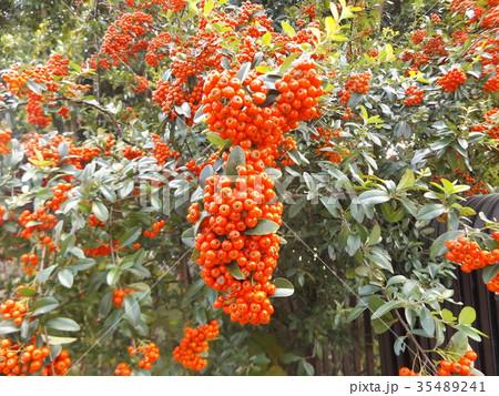 真っ赤な小さい実はピラカンサの実 35489241
