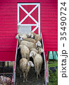 Flock of sheep standing at the entrance of a barn 35490724
