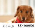 ミニチュアダックス 動物 室内犬の写真 35490959