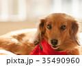 ミニチュアダックス 動物 室内犬の写真 35490960