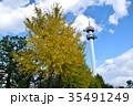 樹木 黄葉 イチョウの写真 35491249