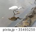 千葉公園の綿打池来たダイサギ 35493250