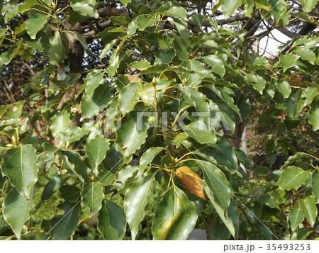 ひょうたん型の未熟な実を付けたクスノキの大木 35493253