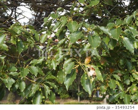 ひょうたん型の未熟な実を付けたクスノキの大木 35493254