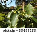 ひょうたん型の未熟な実を付けたクスノキの大木 35493255