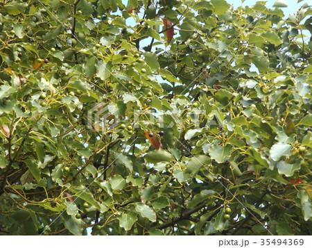 ひょうたん型の実を付けたクスノキの大木 35494369
