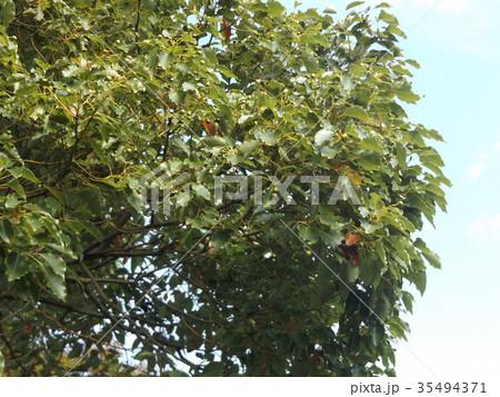 谷津干潟公園のクスノキの木の大木 35494371