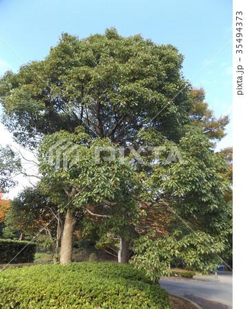 谷津干潟公園のクスノキの木の大木 35494373