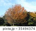 真っ赤に紅葉した谷津干潟公園のモミジバフウの大木 35494374