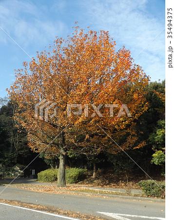 真っ赤に紅葉した谷津干潟公園のモミジバフウの大木 35494375