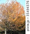 真っ赤に紅葉した谷津干潟公園のモミジバフウの大木 35494376