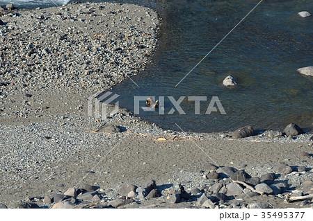 鮭を食べるヒグマ 35495377