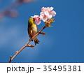 河津桜のご馳走に肖るメジロ 35495381