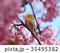 河津桜に見入るメジロ 35495382