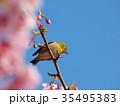 河津桜の枝から見下ろすメジロ 35495383