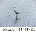 谷津干潟公園のアオシギ 35495481