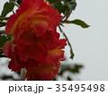 秋バラ 35495498