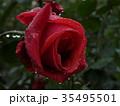 秋バラ 35495501