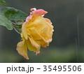 秋バラ 35495506