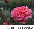 秋バラ 35495508