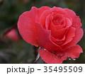 秋バラ 35495509