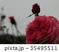 秋バラ 35495511