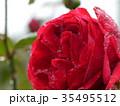 秋バラ 35495512