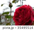 秋バラ 35495514
