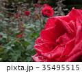 秋バラ 35495515