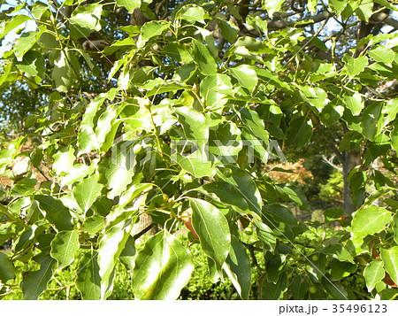 ひょうたん型の実を付けたクスノキの大木 35496123