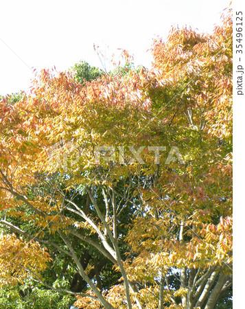 真っ赤に紅葉した谷津干潟公園のモミジバフウの大木 35496125