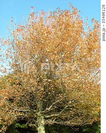 真っ赤に紅葉した谷津干潟公園のモミジバフウの大木 35496126