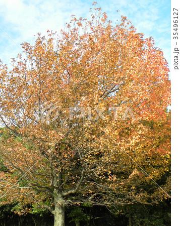 真っ赤に紅葉した谷津干潟公園のモミジバフウの大木 35496127