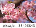 河津桜 桜 早咲きの桜 さくら サクラ 画像素材 コピースペース 背景素材 文字入れ 35496843