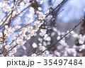 梅 花 春の写真 35497484