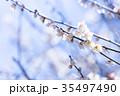 梅 花 春の写真 35497490