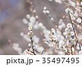 梅 花 春の写真 35497495