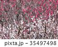 梅 花 春の写真 35497498