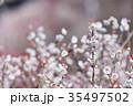 梅 花 春の写真 35497502